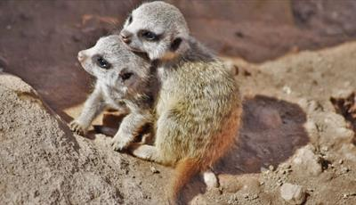 Playtime for the MeerKats
