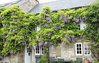 Traditional Derbyshire cottage with wisteria in bloom