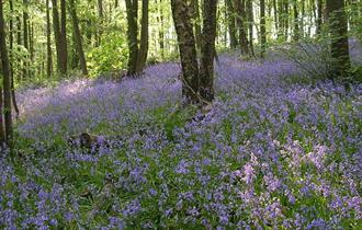 Linacre bluebells