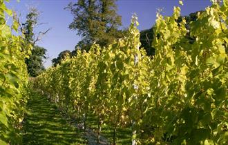 Renishaw Hall Vineyard