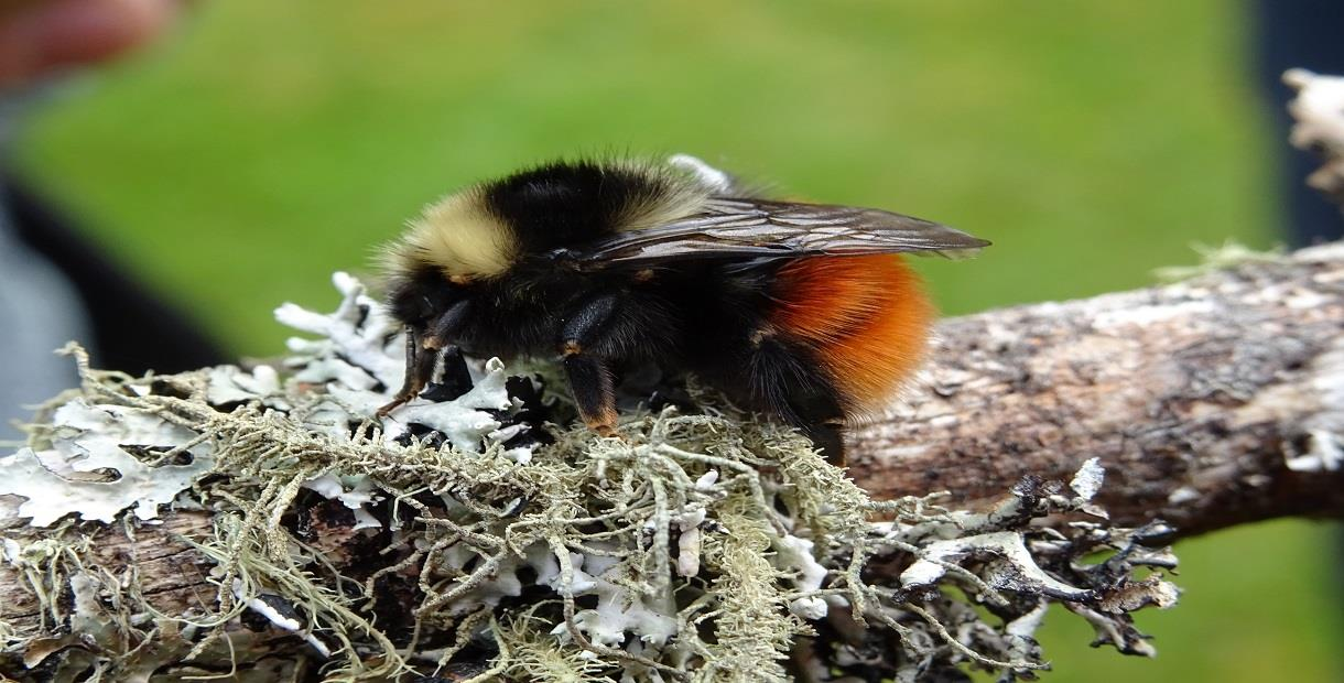 Bumblebee Conservation Trust at Sheldon Day 2019