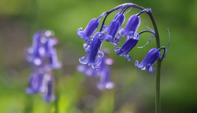 Plant ID and Bluebell Walk