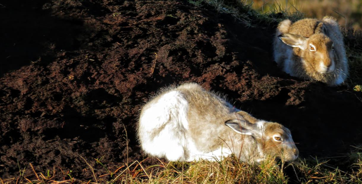 Mountain Hares in the Peak District